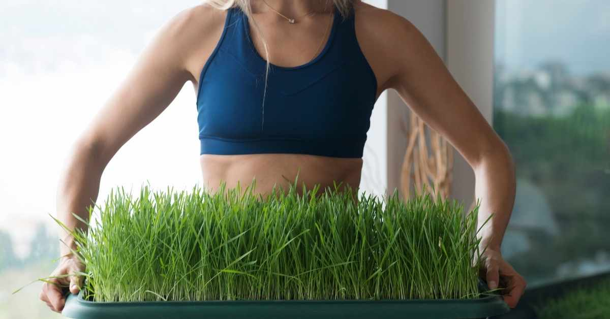 can i use wheatgrass for juicing