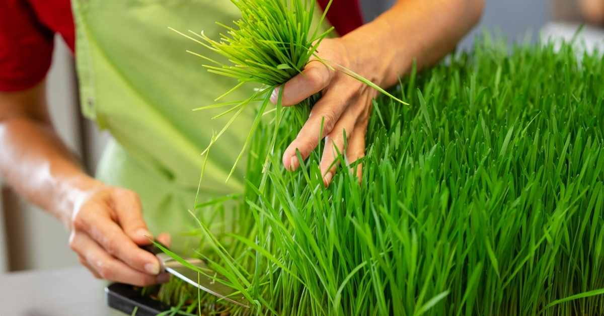 wheatgrass for immune system